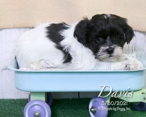 Davis, male Shichon puppy