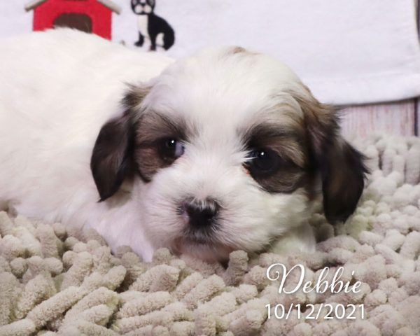 Debbie, female Coton Tzu puppies