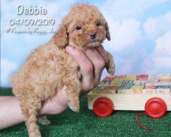 Debbie, female Poodle puppy
