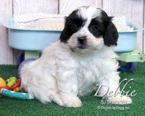 Debbie, female Shichon puppy