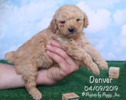 Denver, male Poodle puppy