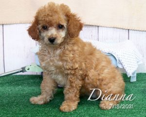 Dianna, female Miniature Poodle puppy