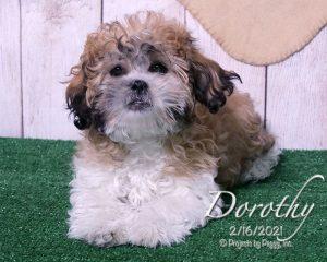 Dorothy, female Shichon puppy