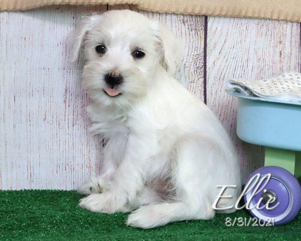 Ellie, female Miniature Schnauzer puppy