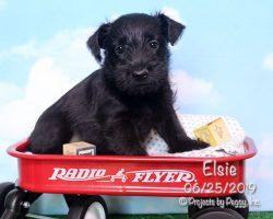 Elsie, female Scottish Terrier puppy