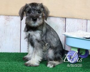 Elvis, male Miniature Schnauzer puppy