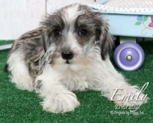 Emily, female Miniature Schnauzer puppy