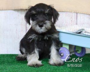 Enos, male Miniature Schnauzer puppy