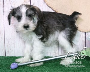 Esther, female Miniature Schnauzer puppy