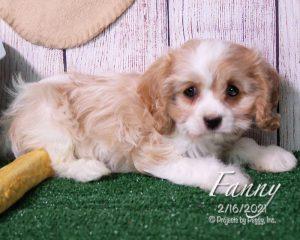 Fanny, female Cavachon puppy