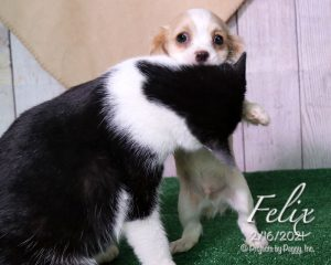 Felix, male Cavachon puppy