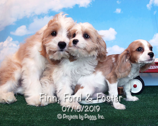 Finn, Ford & Foster, 3 male Cava-Cavachon puppies