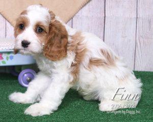 Finn, male Cavachon puppy