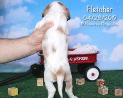 Fletcher, male Cava-Cavachon puppy
