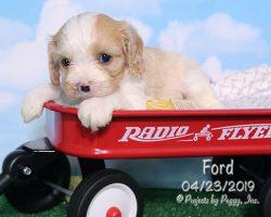 Ford, male Cava-Cavachon puppy