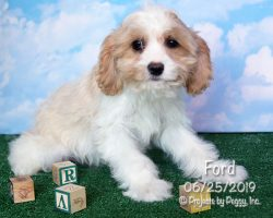 Ford, male Cava-Cavachon puppy