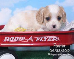 Foster, male Cava-Cavachon puppy