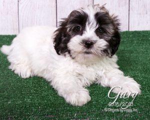 Gary, male Shichon puppy