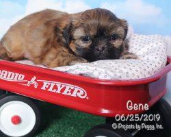 Gene, male Shih Tzu puppy