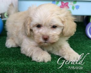 Gerald, male Lhasapoo puppy
