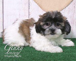 Ginny, female Shichon puppy