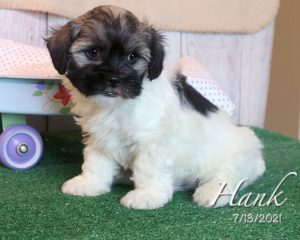 Hank, male HavaLhasa puppy