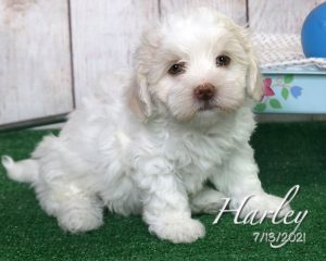 Harley, male HavaLhasa puppy