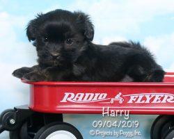 Harry, male HavaLhasa puppy