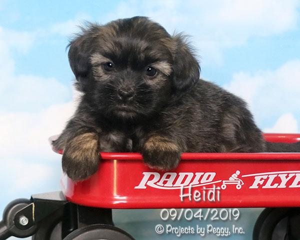 Heidi, female HavaLhasa puppy