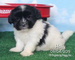 Holly, female HavaLhasa puppy