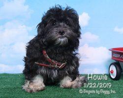 Howie, male HavaLhasa puppy