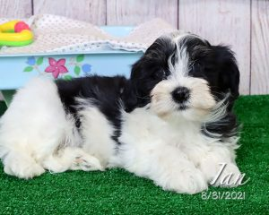 Ian, male Havanese puppy