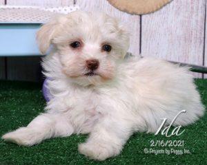 Ida, female Havanese puppy