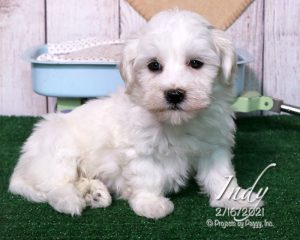 Indy, female Havanese puppy