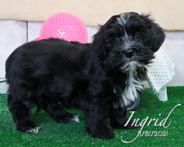 Ingrid, female Havanese puppy