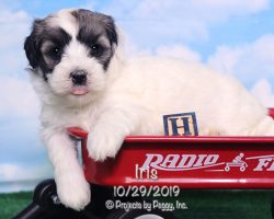 Iris, female Havanese puppy