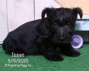 Isaac, male Scottish Terrier puppy