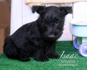 Isaac, male Scottish Terrier puppy