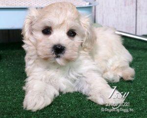 Issy, female Havanese puppy