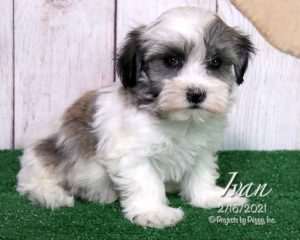 Ivan, male Havanese puppy