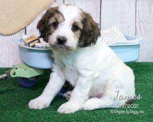 James, male Cocker Spaniel puppy