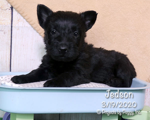 Jedson, male Scottish Terrier puppy
