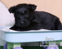 Jerry, male Scottish Terrier puppy