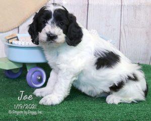 Joe, male Cocker Spaniel puppy