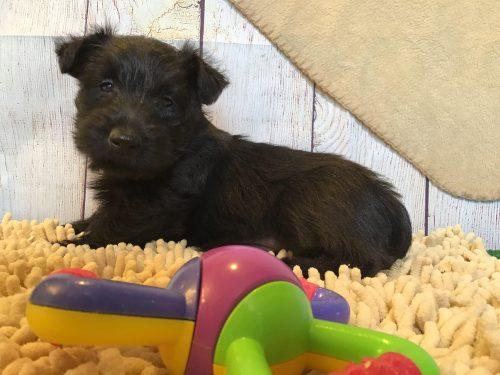 Johnny – M-  Scottish Terrier AKC /ACA Reg Reserved