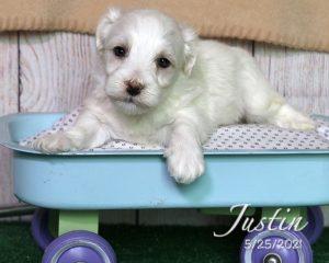 Justin, male Cotonchon puppy