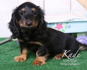 Kade, male Dachshund puppy