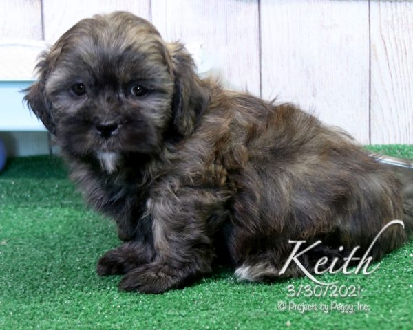 Keith, male Shihpoo puppy