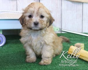 Kelly, female Shihpoo puppy