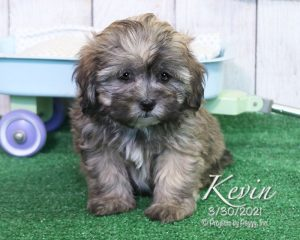 Kevin, male Shihpoo puppy